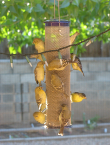 Record number of Goldfinches on my back feeder in 2010.  Photo credit:  the author