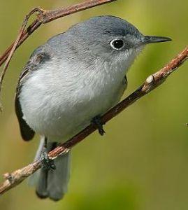 Image from http://txtbba.tamu.edu/species-accounts/blue-gray-gnatcatcher/